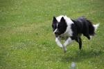 Dusty mit 1 Jahr und 3 Montaten beim Hunderennen